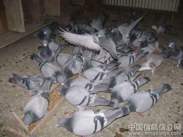 动物 鸽 鸽子 鸟 鸟类 640_480