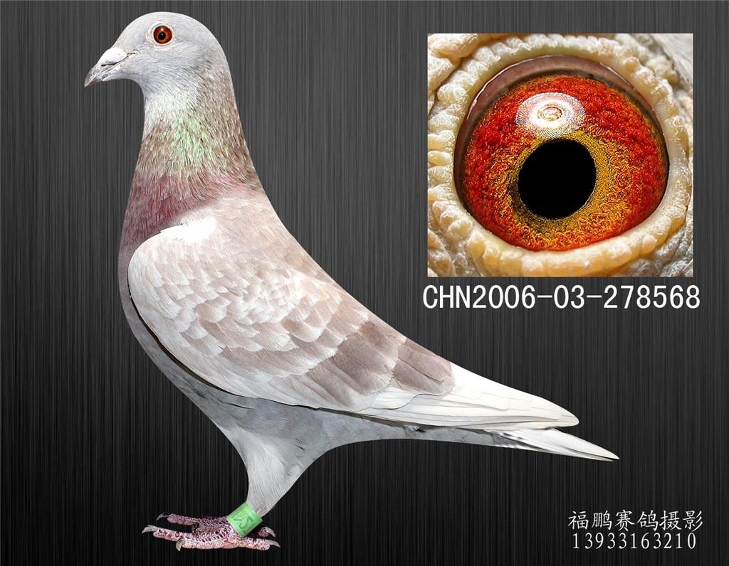 詹森红狐狸_詹森红狐狸_赛鸽资讯网商城