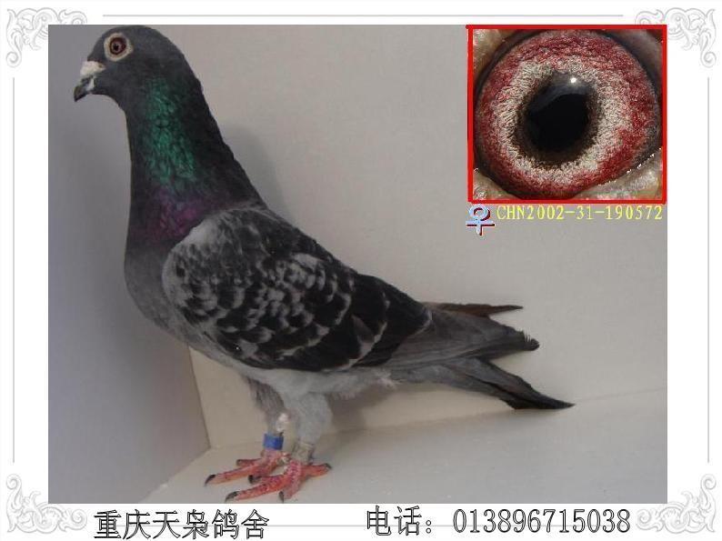 chn2002-31-190572吴淞雌鸽_相册_天枭96121 - 赛鸽
