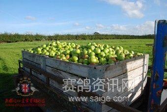苹果丰收的季节