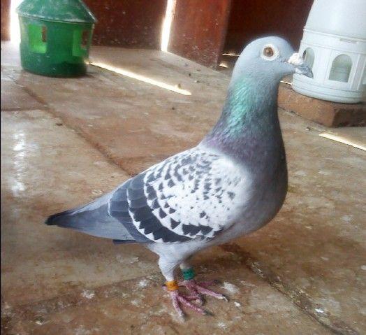 """有这样一只鸽子,它叫""""澄海""""_日志_金字塔鸽业 - 赛鸽"""