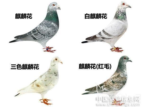 信鸽羽色名称大全