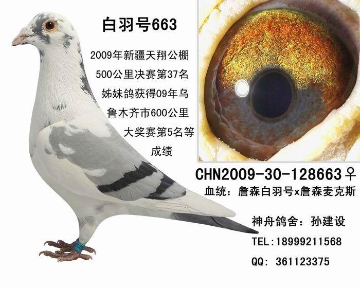 鸽子鸽动物教学图示鸟恐龙700_560儿童游戏鸟类大逃亡图片