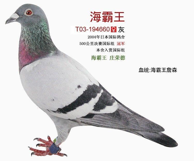 公司不提供书面血统书,买家收到鸽子后,我们会将血统书上传到海图片
