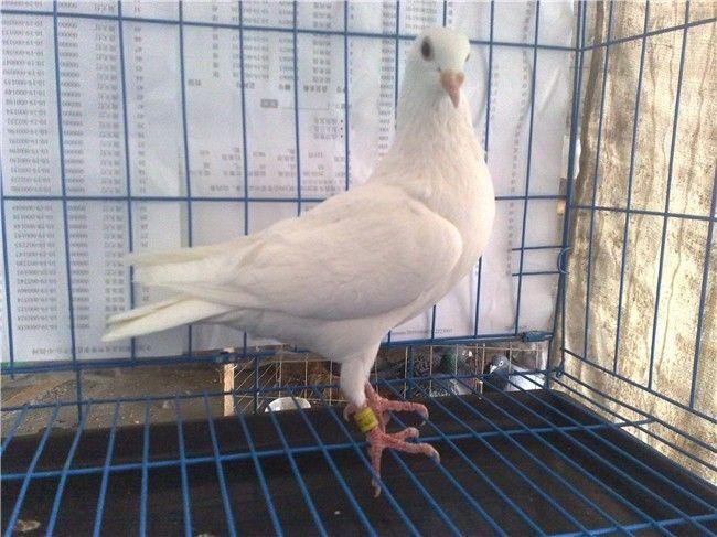 白鸽素颜照片