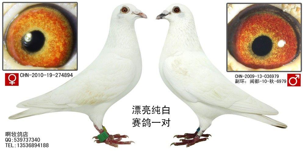 白白色潮吹影院_漂亮纯白鸡黄眼--赛鸽一对(已售)