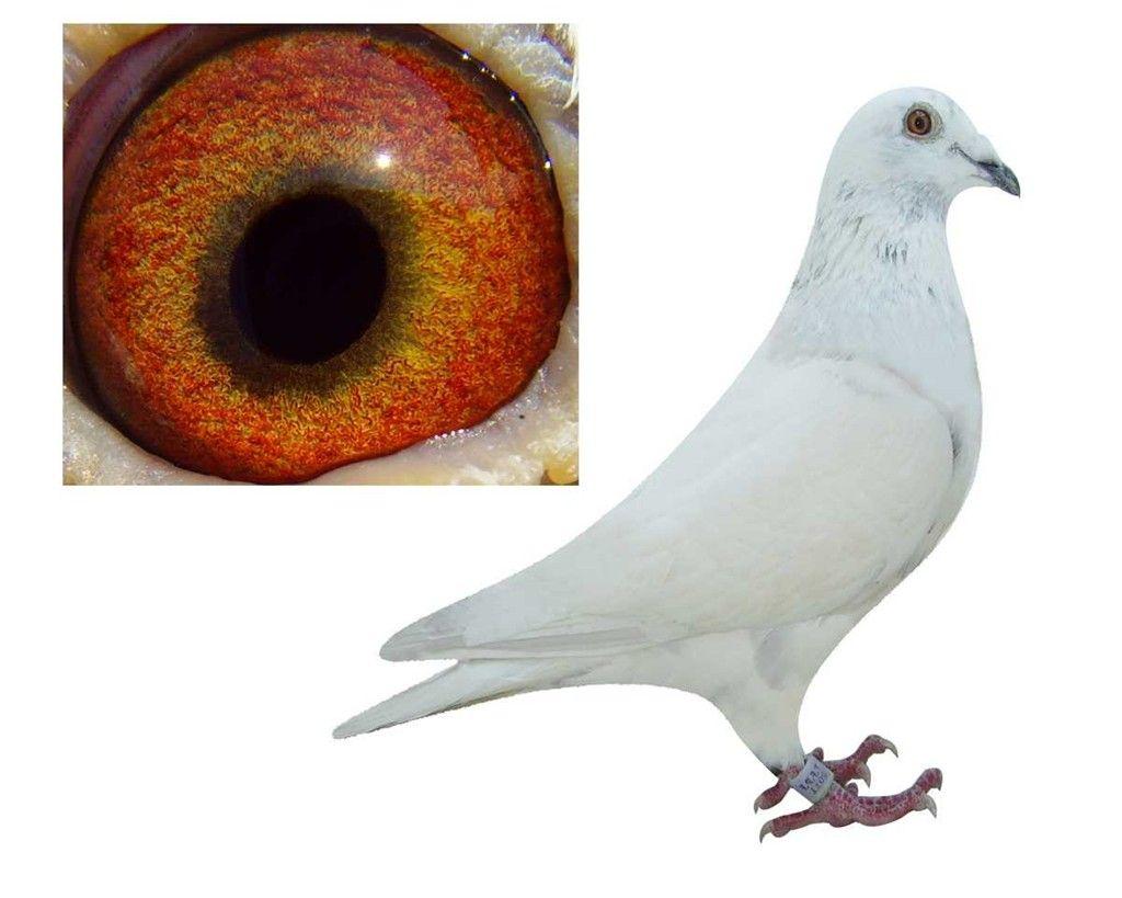 动物 鸽 鸽子 教学图示 鸟 鸟类 1024_819