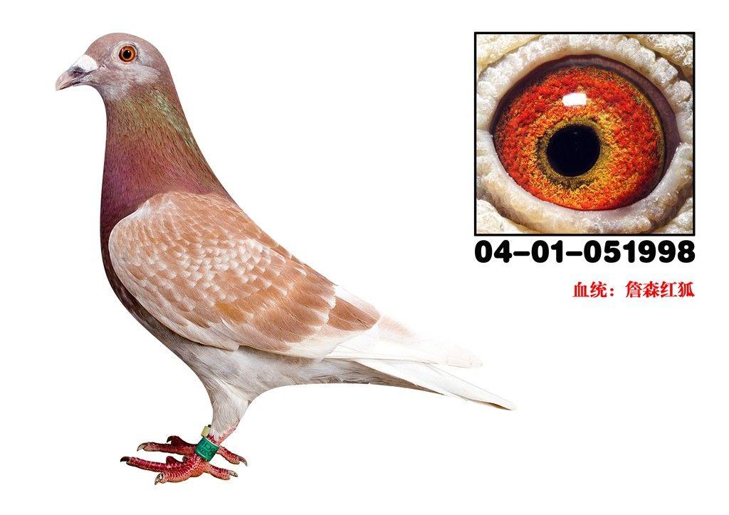 种鸽的管理经验