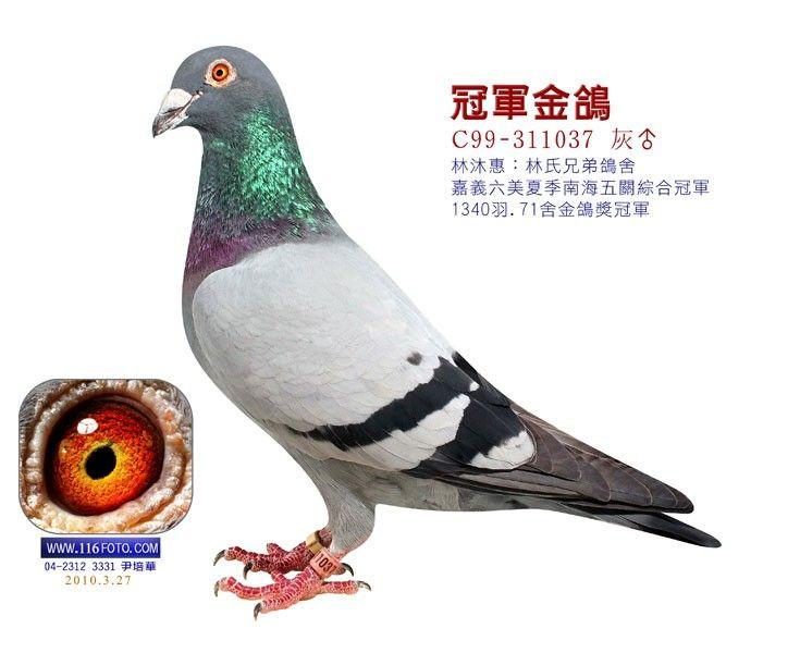 动物 鸽 鸽子 教学图示 鸟 鸟类 735_600