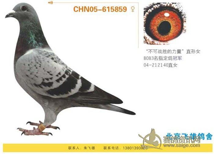 300多羽  详细地址:北京香山  养鸽品系:美国橡树园超级73,詹森