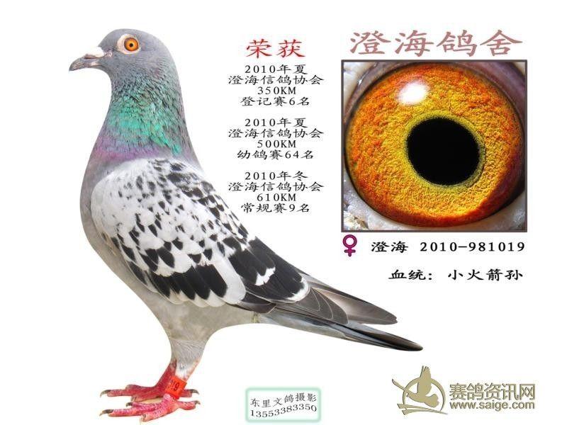 澄海信鸽协会2010年冬季,600公里平阳站,开笼当天无鸽子归巢,第二天才有鸽子归巢,荣获常规赛第9名。