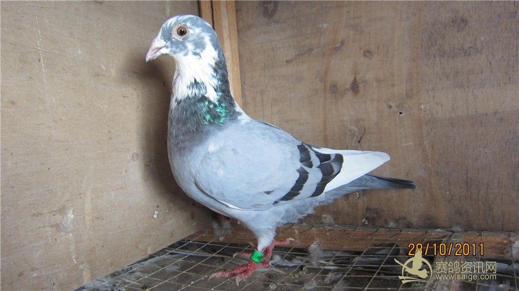鸟类鸽鸽子鸟动物1024_574有胃胃病可以吃蜜蜂糖吗图片