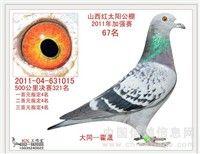 中国信鸽直播网