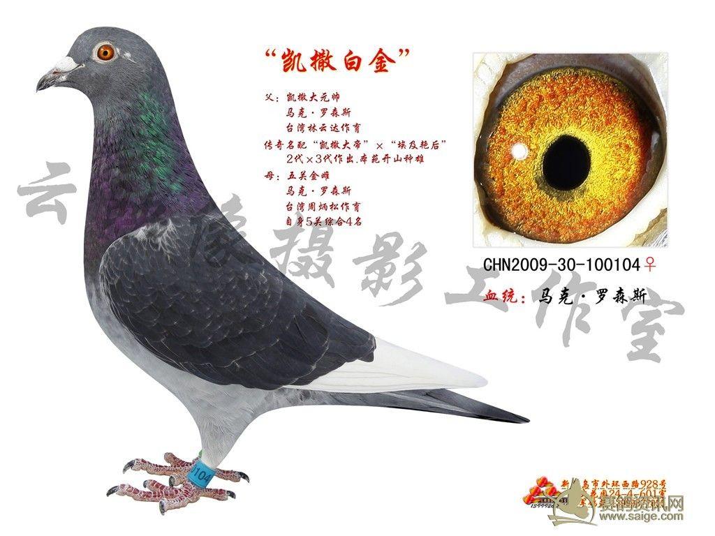 欣赏 赛鸽/名家精品赛鸽欣赏_日志_铭轩鸽舍 / 赛鸽资讯