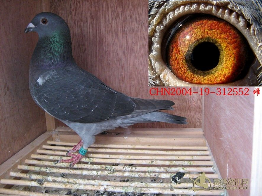 2004年老种鸽【靓眼砂】-2004年老种鸽