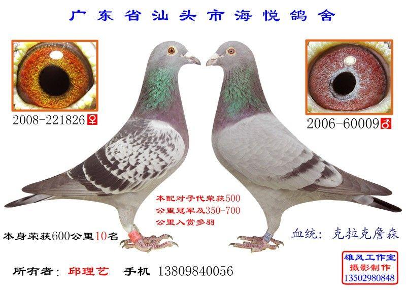 信鸽黄金配对眼经图图片大全 黄金配对.种鸽转让