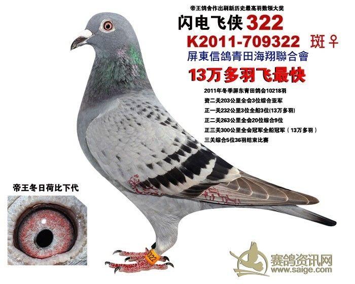 名鸽出自名血   康董说这只母鸽  出自詹森本舍冬日男孩919 配荷比