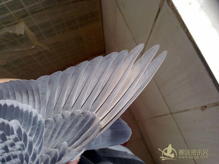 翅膀 赛鸽/【鹰一样的眼神,剑一样的翅膀】火车头赛鸽。