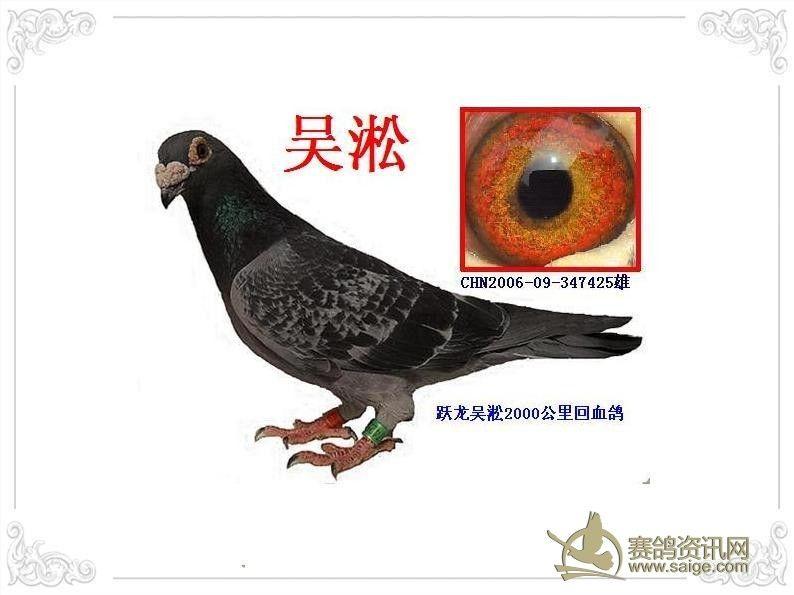 吴淞鸽; 吴淞信鸽图片
