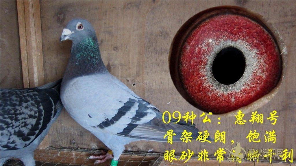 2012精挑种鸽 视频