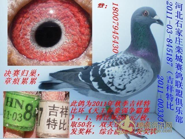河北石家庄吉祥赛鸽俱乐部决赛2011 03 845187 吉祥特比高清图片