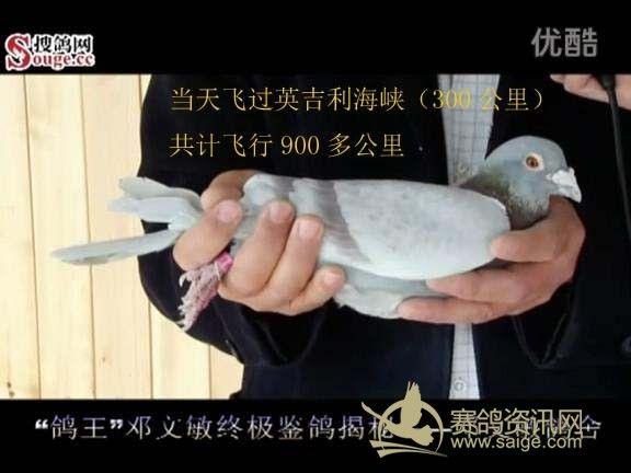 天津 鸽王 邓文敏视频记录整理