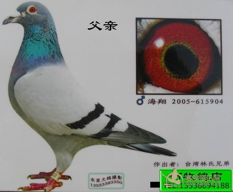 台湾林氏兄弟鸽舍林沐惠(冠军先锋号直系)