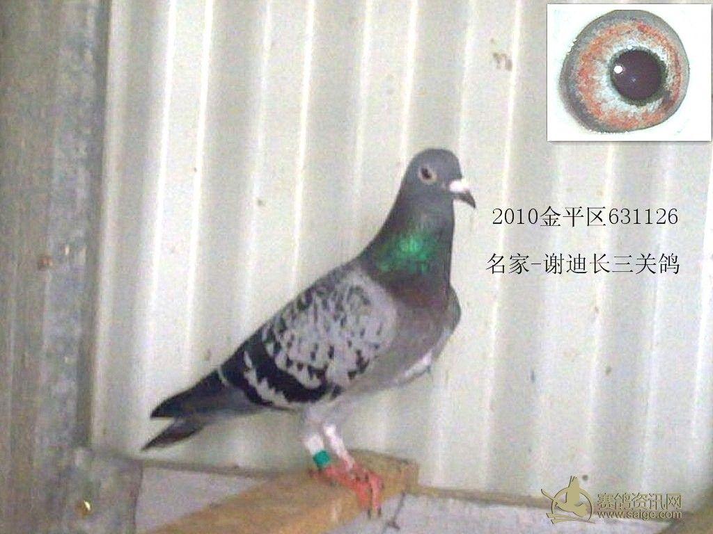 名家 谢迪长雨点白条三关鸽图片
