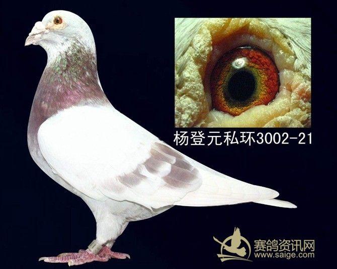 白话西翁 上海杨登元西翁