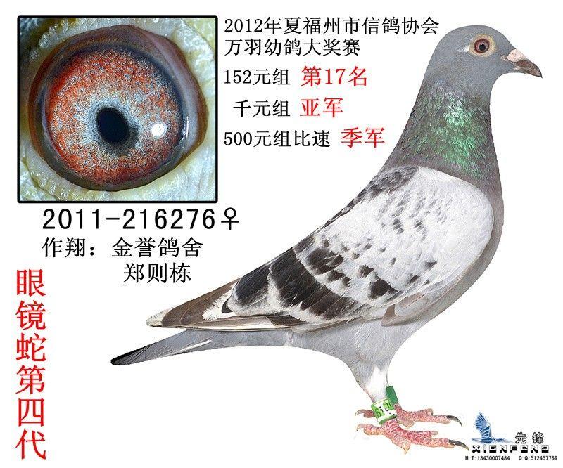 信鸽特征 足环:216276 性别:♀雌鸽 血统:眼镜蛇