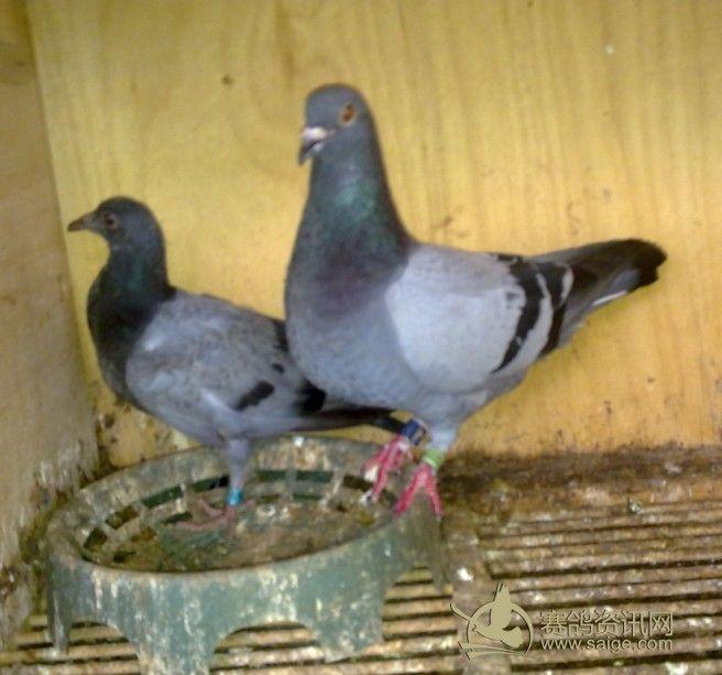 农村养鸽子分公母视频 怎样养鸽子,鸽子的公母怎么区分图片