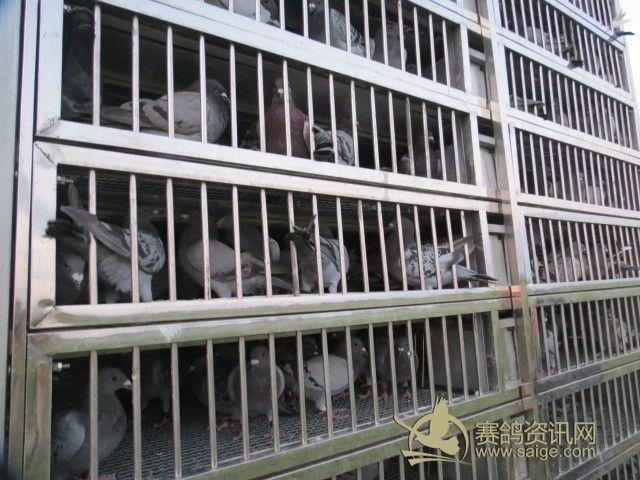信鸽棚设计图片欣赏-园赛鸽公棚开笼照片及公告