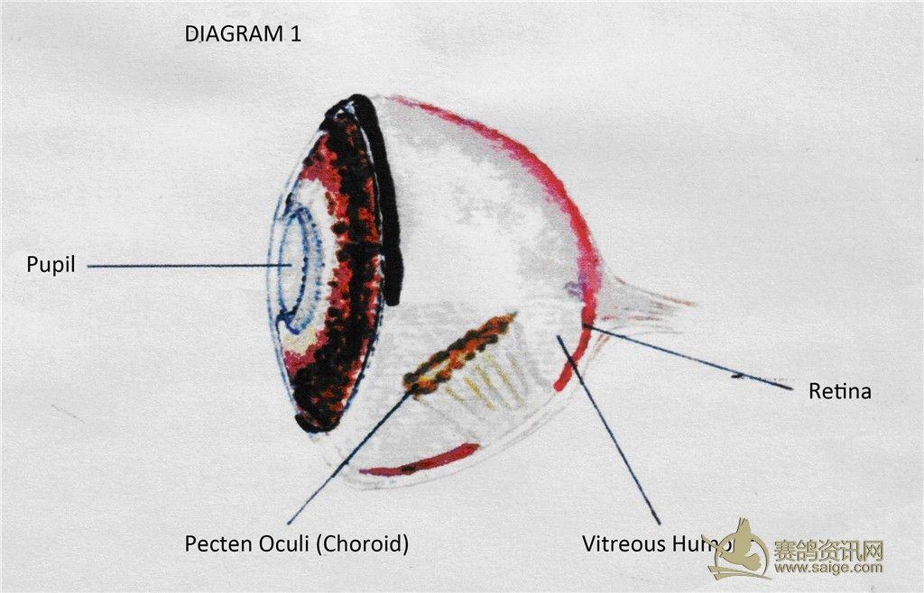 冯里欧/优秀赛鸽眼栉膜研究——英文版