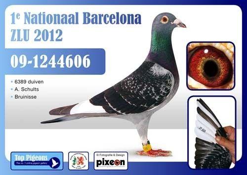 世界首家《信鸽眼睛科学研究所》筹备在荷兰成立_赛鸽