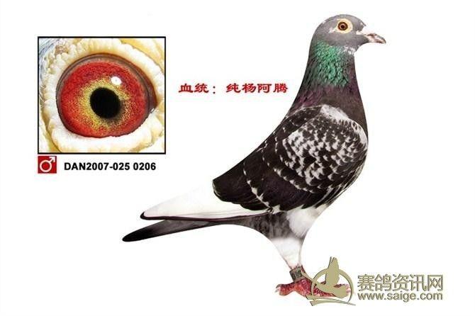 雄鸽  羽色:雨点白条  眼别:古铜眼  血统:杨阿腾  年代:2007  作育图片