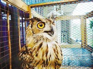 鸽棚中捉到的猫头鹰陈女士供图-偷鸽凶手终抓到,半年多吃掉十几羽