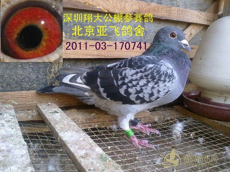 雨点白条公棚鸽 北京亚飞鸽舍 已售图片