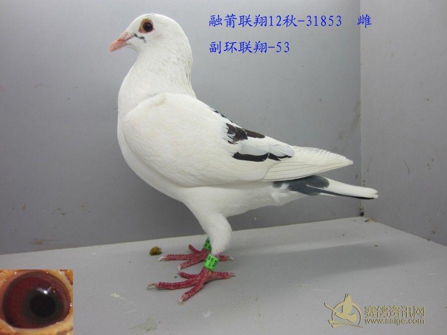 东莞信鸽协会 花白母