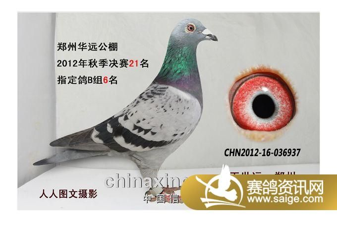 苍白花鸽子冠军鸽图片