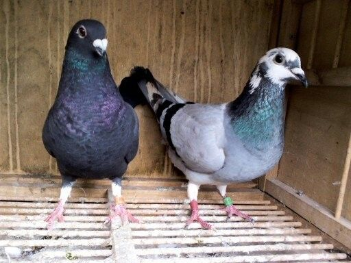 四关灰花头白条台鸽相片 预购从速图片