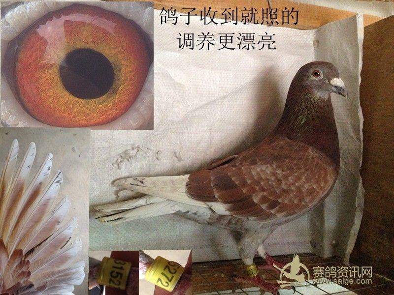 动物 鸽 鸽子 教学图示 鸟 鸟类 800_600