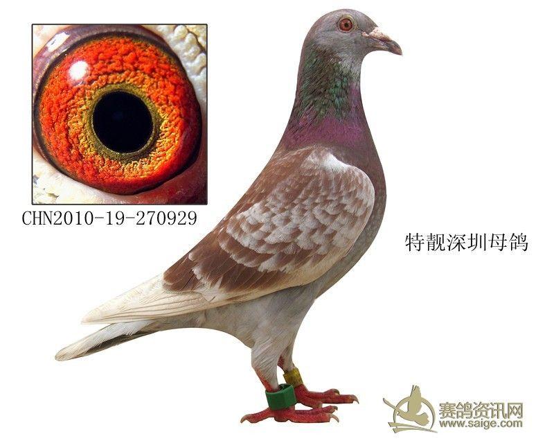 深圳 红雨点 母鸽 有图 已经出售 多谢关注图片