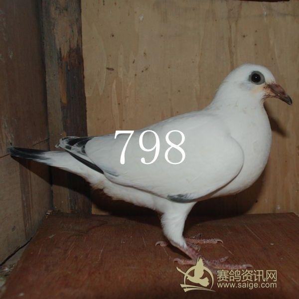清纯靓丽 白色/一直以来,对白色的赛鸽情有独钟。