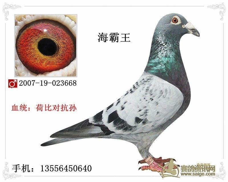 07年海霸王 雨点 黄眼 雄鸽 特大体型 血统 荷比对抗孙 已售北京图片