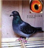 鸽子肌肉发黑图片欣赏
