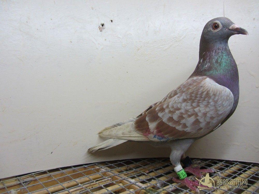 红 白花 灰 雨点喜欢的鸽友价格从优图片