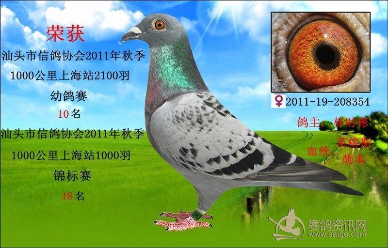0羽 10名 雨点 雌鸽 已售广西北海图片