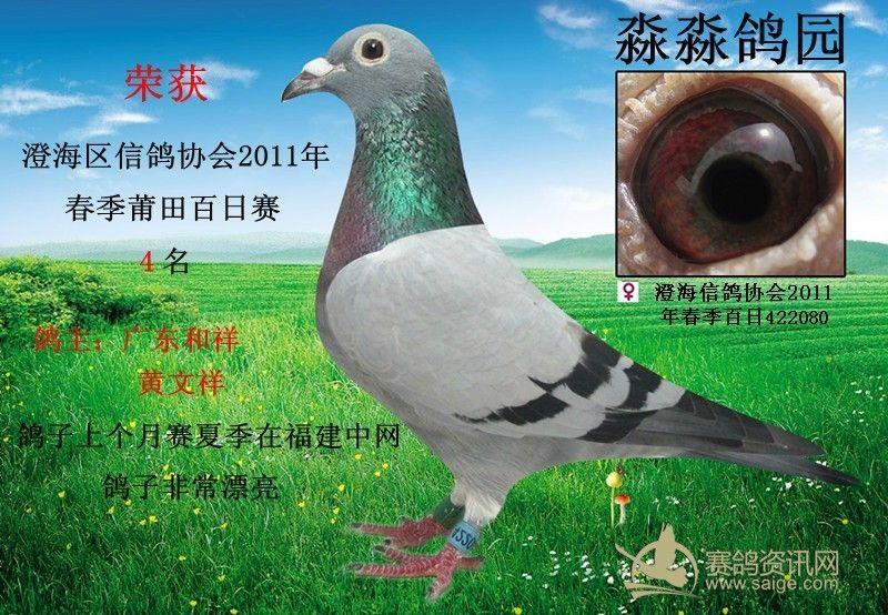 刚到 复赛中网鸽 百日赛4名 灰 牛眼 鸽主 广东和祥 黄文祥 喜欢全灰牛眼睛的快来看一下