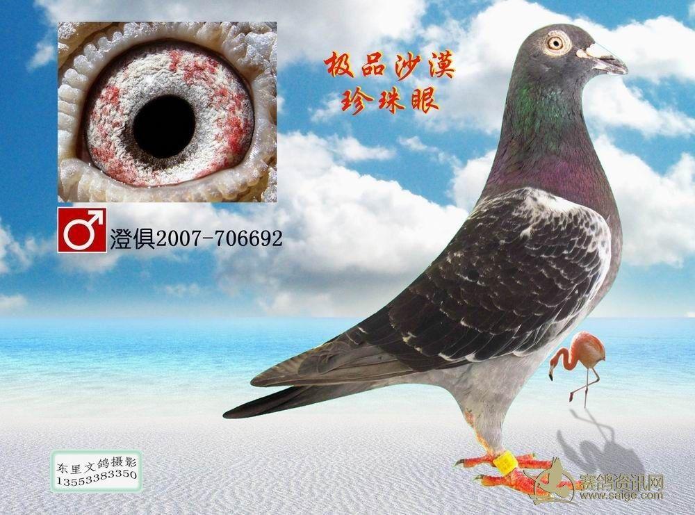 沙漠珍珠眼6羽一组 特价600元图片