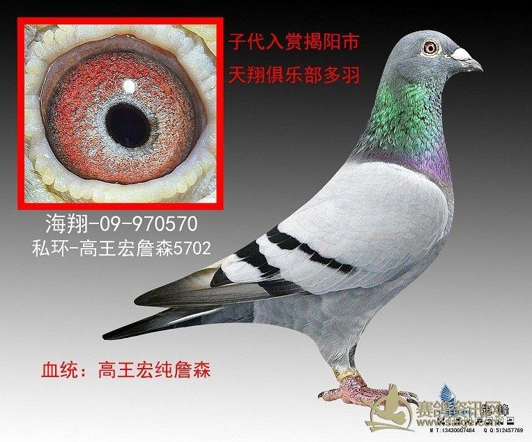 ... 信鸽图片图片展示_纯詹森 信鸽图片相关图片下载